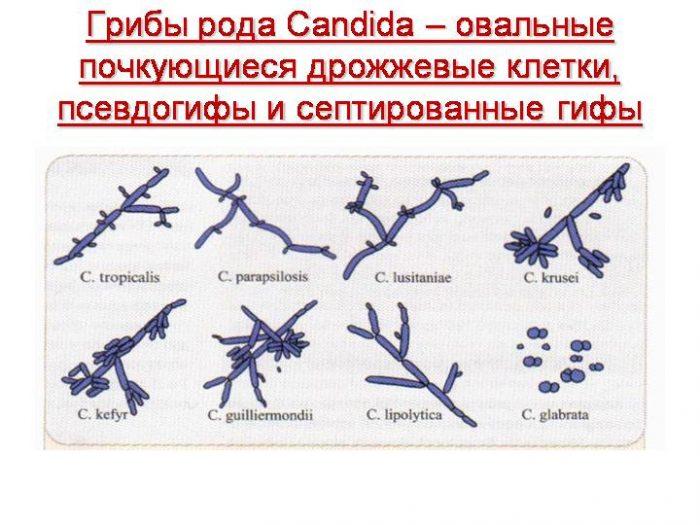 виды грибков Кандида