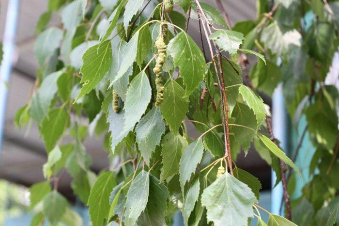 березовые листья залить их водкой